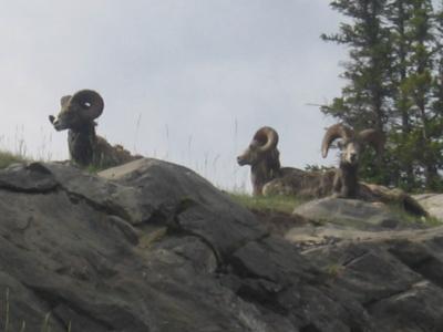 Mountain goats Yeti  Rocky montain Gems Banff