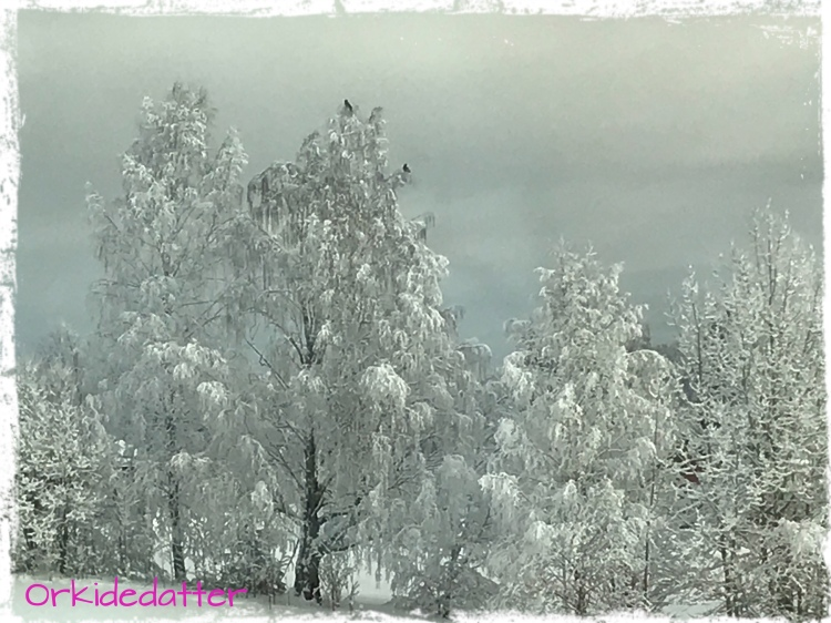 Crow, kråke, winter, picture of winter, snow, snø, frost, frozen, cold, kaldt, Norway