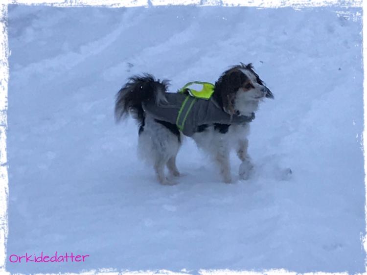 Norway, dog, hund, Pepsi, winter, snow